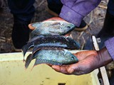 some_harvested_tilapia_species