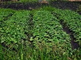 vegetables_growing_at_pond_site