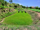 Temprary rice production in a fish pond, Nkhotakota